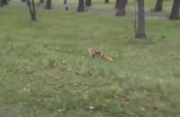 Zabawa dwóch małych lisów w trawie