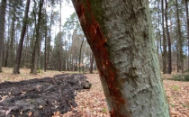 Wycinka drzew w sopockim lesie