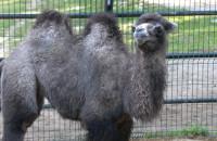 Wielbłąd Wisełka w oliwskim zoo