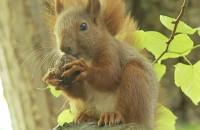 Wiewiórki harcują w parku Oliwskim