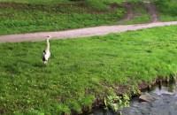Czapla siwa nad potokiem