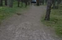 Stogi kierowca po lesie