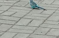 Zagubiona papuga na Pogórzu
