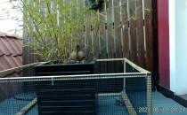 Już trzy niesforne małe kaczątka