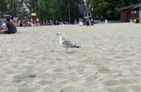 Mewa patroluje gdyńską plażę
