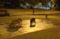 Spragnione dziki piją z fontanny na Strzyży