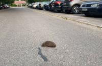 Jeż chce przejść przez ulicę
