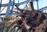 Uschnięta palma w Oliwie