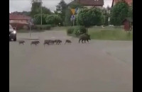 Dwanaście małych dzików z lochą