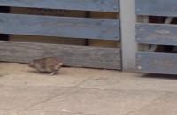 Plaga szczurów w centrum Wrzeszcza
