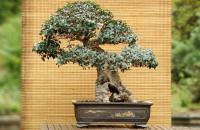 Bonsai także z polskich drzew