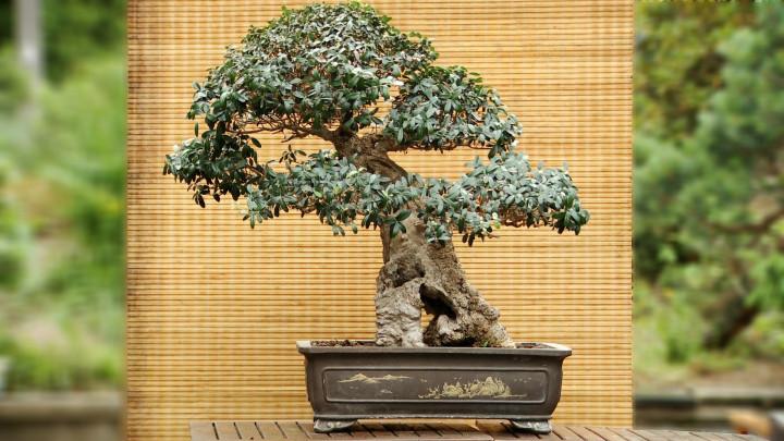 Zobacz bonsai stworzone przez pasjonata zSopotu