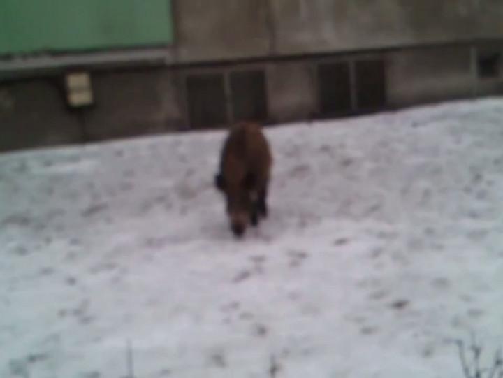 Dziki żerujące zimą między blokami.