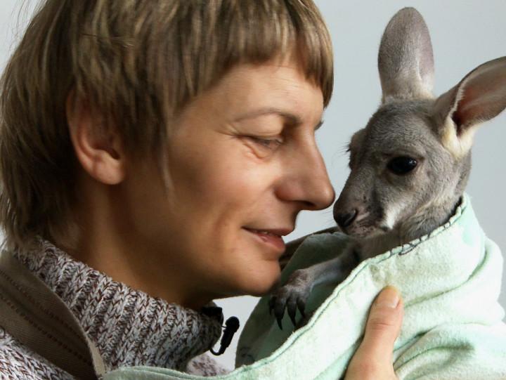 Zobacz, jak pracownica gdańskiego ZOO wychowywała kangurzątko odrzucone przez biologiczną matkę.