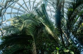 Palma w Oliwie zostanie wycięta