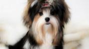 Biewer Canine World - hodowla Biewer, Golddust Yorkshire Terrier
