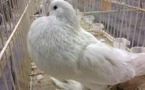 Ptaki z nawigacją. 1,5 tys. gołębi na...