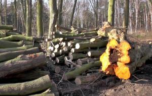 Kontrowersyjna wycinka drzew w Brzeźnie