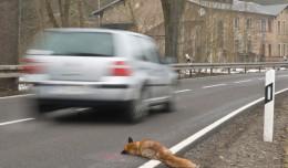 Uważajcie na dzikie zwierzęta. Co w razie kraksy?