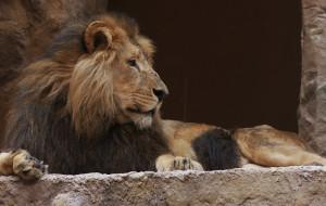 Po ataku lwa będą nowe zabezpieczenia w ZOO