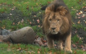 ZOO: lew spaceruje, lwica się podkochuje