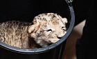 Narodziny lwiątka w oliwskim ZOO