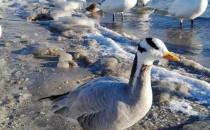 Egzotyczny ptak na plaży w Gdyni