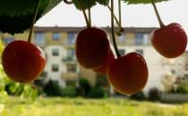 Dzikie owoce przy ulicy. Jeść czy nie jeść?