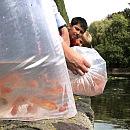 Nowe ryby w starym stawie w parku Oliwskim
