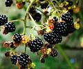 Cudowne jeżyny - zdrowie i uroda z lasu