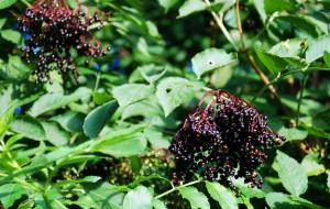 Wyjątkowe właściwości owoców czarnego bzu