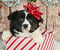 Zwierzę na prezent. Przemyśl, zanim się zdecydujesz