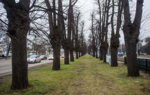Wielka Aleja w Gdańsku jednak do wycinki