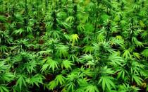 Plantacja marihuany na hałdzie w Wiślince
