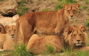 Odwiedź w czwartek lwy w gdańskim zoo