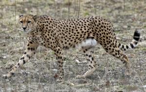 Nowe gepardy w oliwskim zoo