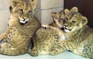 Cztery nowe lwiątka w gdańskim zoo