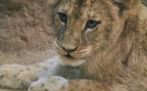 Casa - imię lwicy wylicytowane na aukcji WOŚP