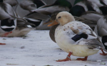 Ptasi sołtys na bulwarze w Gdyni