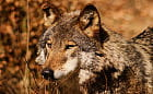W zoo odstrzelono wilka, który wydostał się z wybiegu