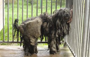 Promyk szuka właścicieli skrajnie zaniedbanych psów