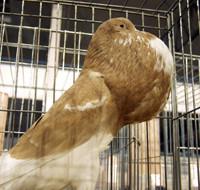 Gołębie piękności
