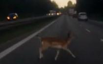 Obwodnica: jeleń uratowany, sarna zginęła