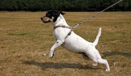 Cztery łapy: nauka chodzenia na luźnej smyczy