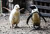 Pingwin albinos w gdańskim zoo