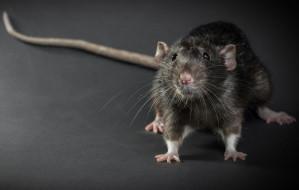 W Gdańsku nie ma problemu ze szczurami