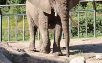 W zoo przycięto cios słonicy afrykańskiej