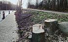 Po wycince przy ul. Wielkopolskiej posadzą nowe drzewa