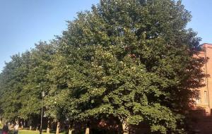 Uchylono zakaz wycinki drzew na Podwalu Staromiejskim. Co z parkingiem?