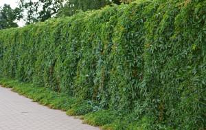 """Ogród. Wybieramy pnącza, czyli """"płaskie drzewa"""""""